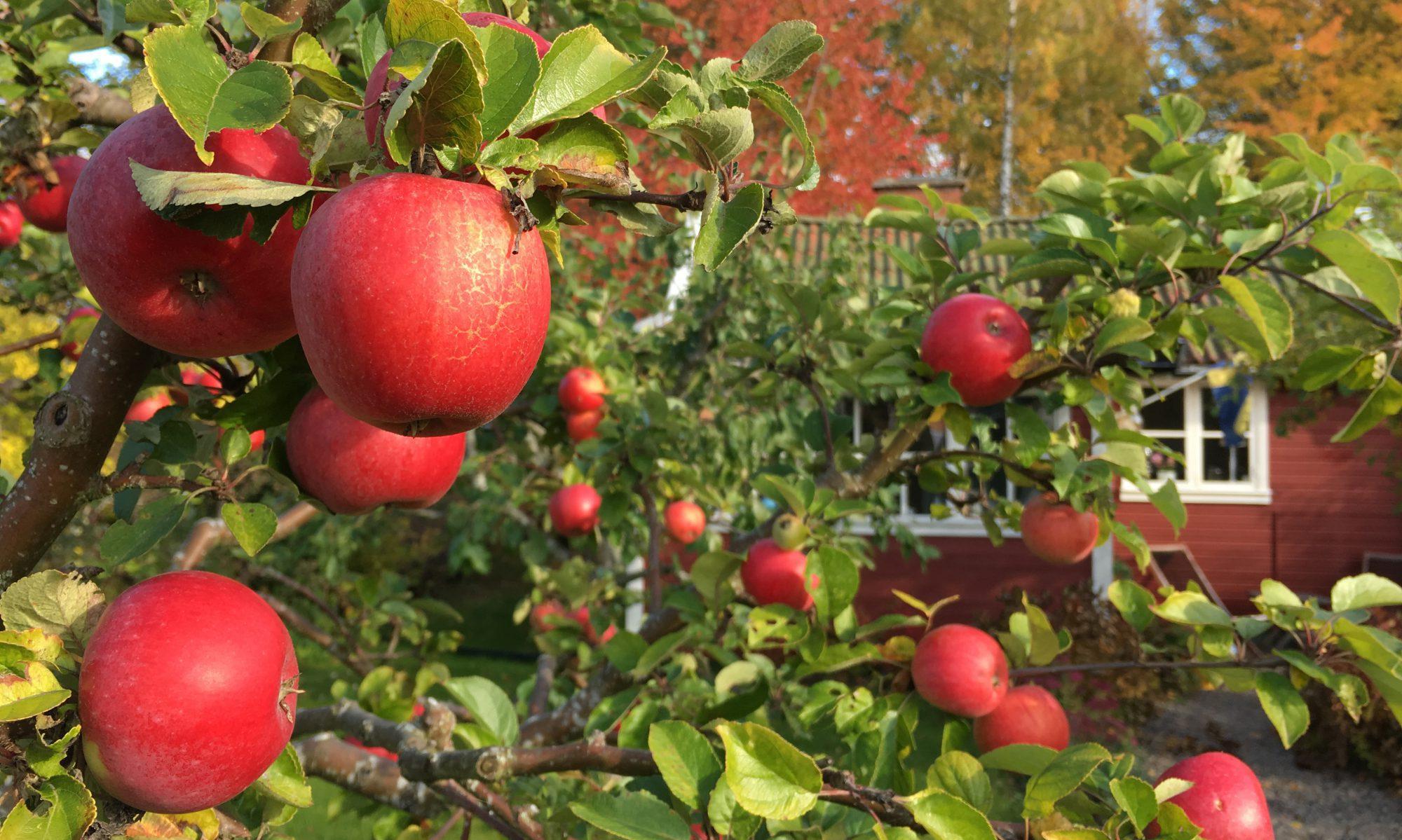 Bild på röda äpplen
